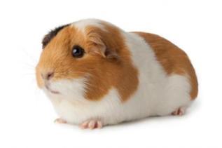 193075-425x283-american-guinea-pig